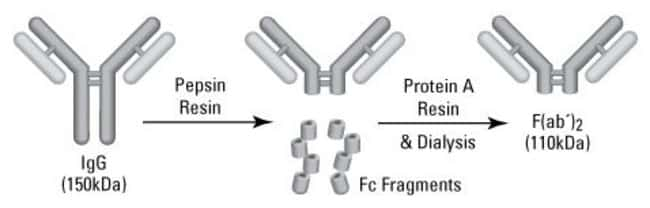 Digestion and purification scheme for preparing F(ab')2 fragments from IgG antibodies
