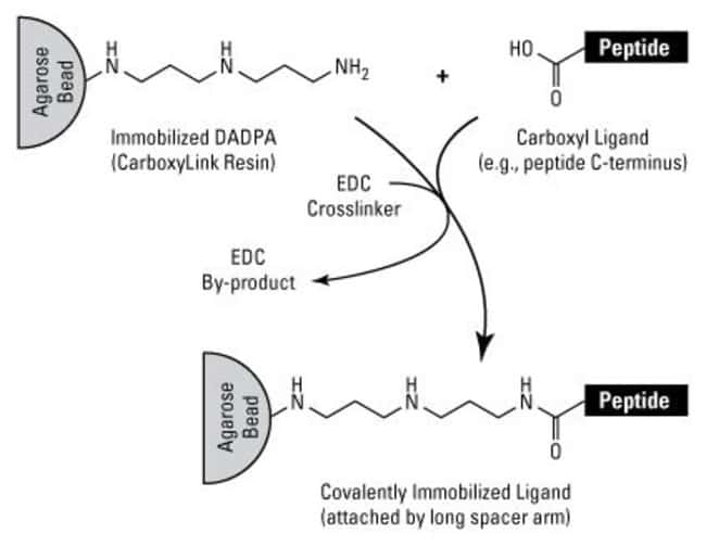 EDC crosslinker reacts with carboxylates to create an amine-reactive intermediate, resulting in covalent attachment to the DADPA-activated Resin (Thermo Scientific CarboxyLink Coupling Resin).