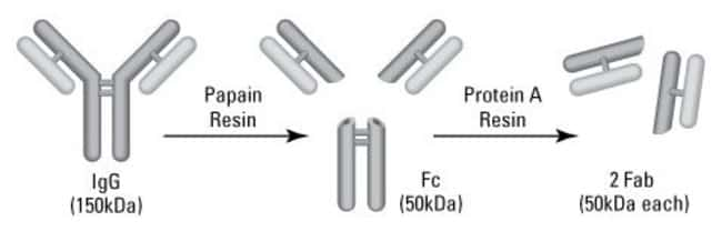 Digestion and purification scheme for preparing Fab fragments from IgG antibodies