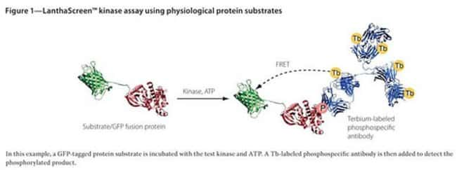 Figure 1 - LanthaScreen™ kinase assay using physiological protein substrates