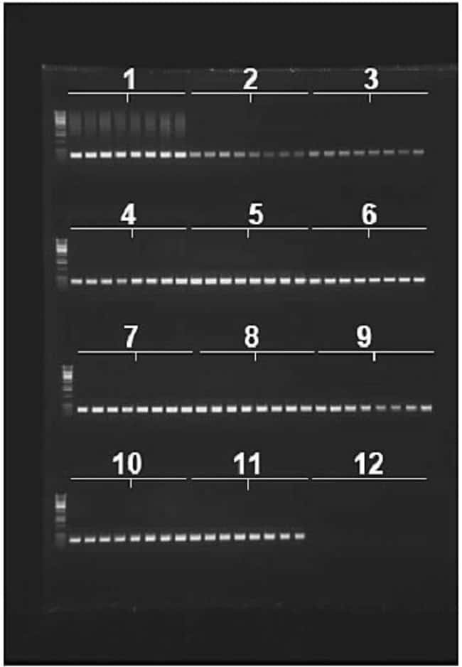 Figure 2. PCR amplification of the 28s rRNA gene using blood samples from eight different animal species carried out directly in the purification plate.  EDTA treated blood samples from two individuals of each species was used.
