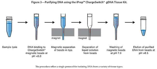 Figure 3—Purifying DNA using the iPrep™ ChargeSwitch® gDNA Tissue Kit.