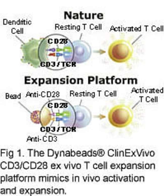 Dynabeads® T cell expansion platform