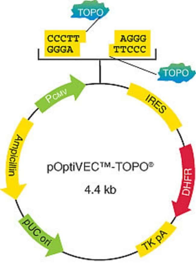 Figure 1 - Map of the pOptiVEC™-TOPO® Kit cloning vector.