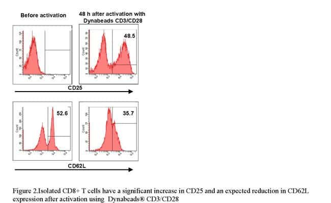 Figure 2.Isolated CD8+ T cells have a significant increase in CD25 and an expected reduction in CD62L expression after activation using  Dynabeads® CD3/CD28
