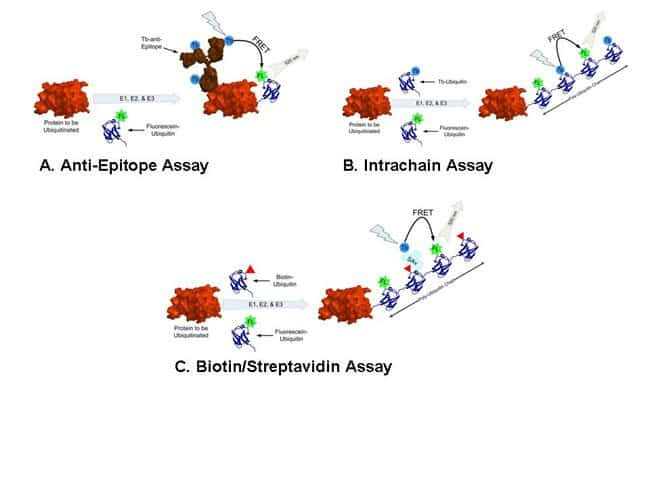 Figure 1-Graphical representation of the LanthaScreen™ HTS ubiquitination assay formats
