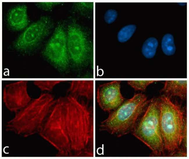 Immunocytochemistry analysis of HeLa cells stained with PDGFR-alpha ABfinity™ Recombinant Rabbit Monoclonal Antibody using (A) Alexa Fluor® 488 Goat Anti-Rabbit was used as secondary (green). (B) DAPI