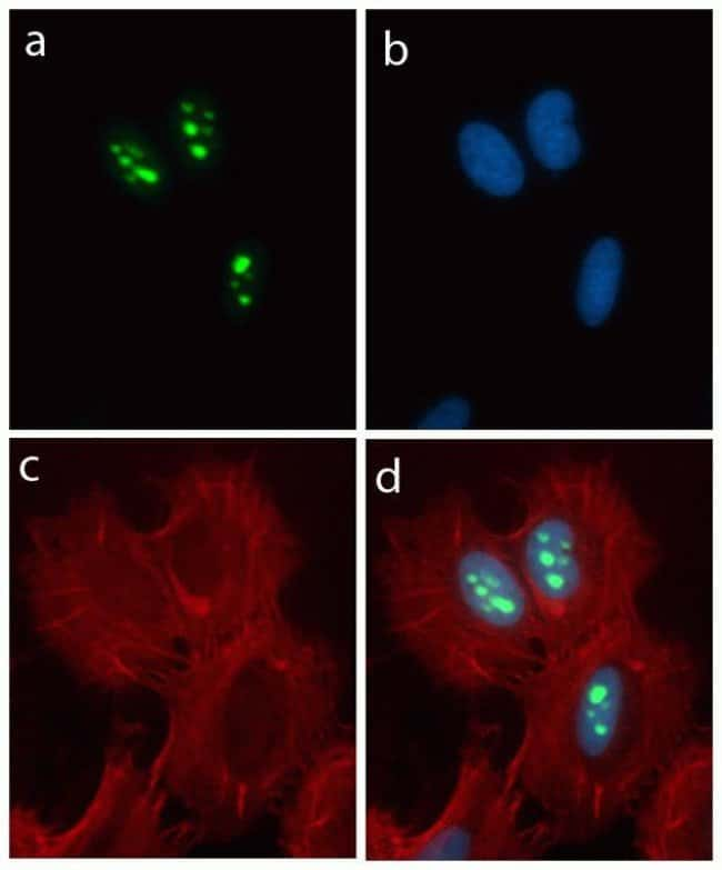 Immunocytochemistry analysis using Nucleostemin ABfinity™ Recombinant Rabbit Oligoclonal Antibody.
