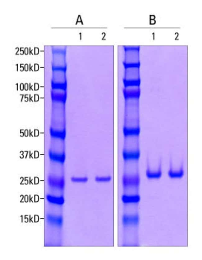 Pierce Universal Nuclease for Cell Lysis (1) and competitor E (2) were resolved by SDS-PAGE at a concentration of 3μg (A) or 8μg (B). Band intensities were stained with Imperial Protein Stai