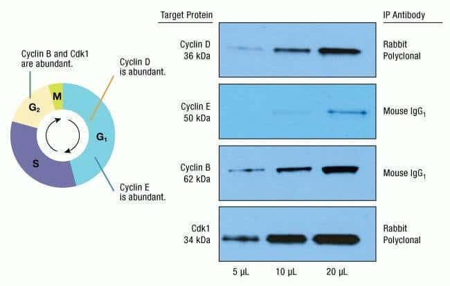 Effective immunoprecipitation (IP) of cell cycle proteins Cyclin D, Cyclin E, Cyclin B and Cdk1