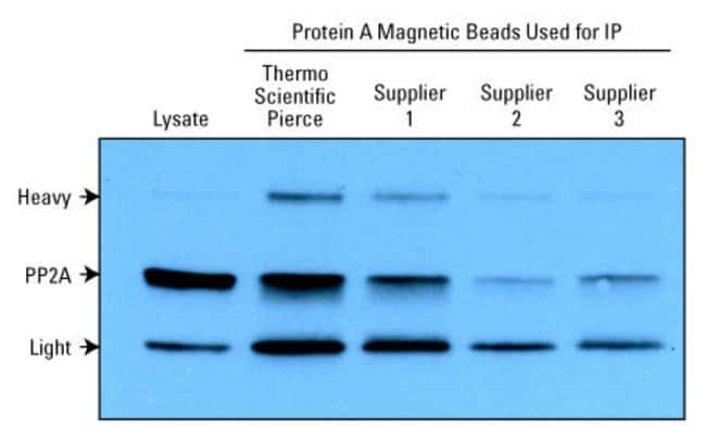 Better immunoprecipitation results with Protein A Magnetic Beads