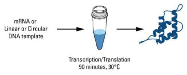 Simply add the appropriate template to a mixture of HeLa cell lysate, Accessory Proteins, Reaction Mix and incubate at 30°C for 90 minutes for protein yeilds up to 100µg/mL. Smaller reaction