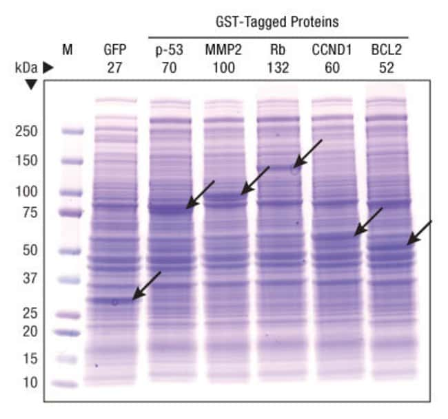 Five expression-ready clones (pANT7-based vector) obtained from the DNASU Plasmid Repository were used to express the GST-fusion proteins listed in Lanes 3-7. Lane 2 shows expression of the control pC