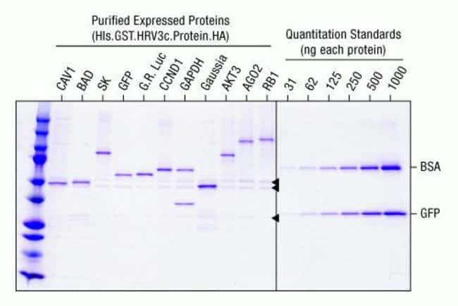 Purification of N-terminal GST fusion proteins with immobilized glutathione