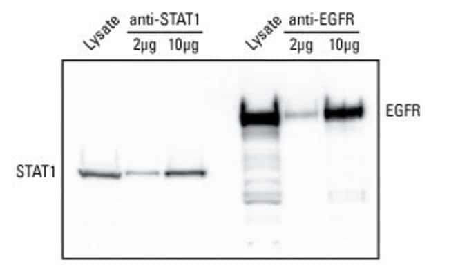 Purified rabbit polyclonal anti-STAT1 or rabbit polyclonal anti-EGFR (Part No. PA1-1110) was oxidized and coupled to 20µL of resin. A549 cell lysate (0.5mg) was incubated with the coupled resin f