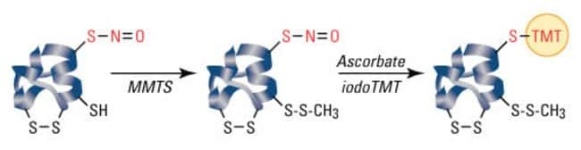 Samples are first reacted with MMTS to block free sulfhydryls in S-nitrosylated proteins. The S-nitrosocysteines are then selectively reduced with ascorbate for labeling with the iodoTMTzero reagent.