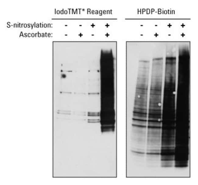 Protein samples were either not treated or S-nitrosylated using S-nitroso-glutathione. Following S-nitrosylation (NO) treatment, all samples were blocked with MMTS before labeling using iodoTMT reagen