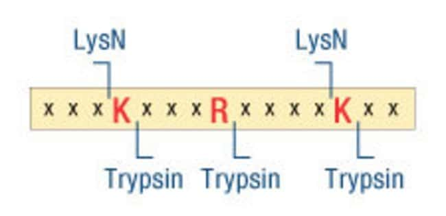 Cleavage site differences between LysN and trypsin