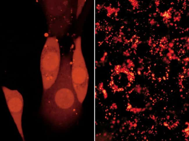 Adherent CRE BAG 2 cells passively loaded with the membrane-impermeant polar tracer Alexa Fluor® 594 hydrazide (Cat. no. A10438, A10442). The image on the left illustrates the relatively uniform, cyto