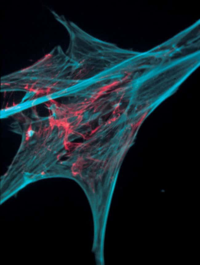 Chick embryo fibroblasts injected with the Alexa Fluor® 568 conjugate of actin from rabbit muscle.