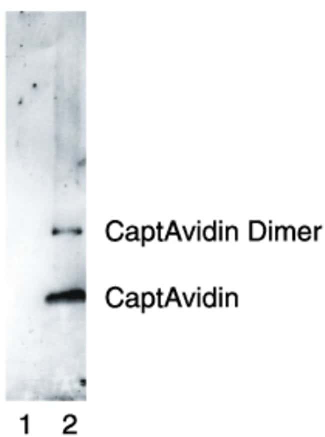 Western Blot using rabbit anti-nitrotyrosine polyclonal antibody.