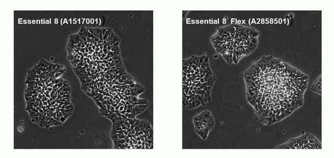 H9 cells were grown in Essential 8 or Essential 8 Flex medium on VTN-N and imaged at Passage 10.