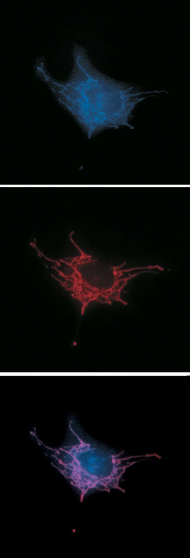 Live bovine pulmonary artery endothelial cells loaded with MitoTracker® Red CMXRos (Cat. no. M7512) then fixed and permeabilized. The cells were then treated with a cocktail containing two antibodies