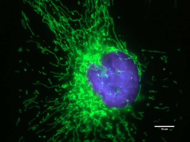HeLa cells were transduced with CellLight® Mitochondria-GFP (mitochondria, green, C10600) and grown over night. Nuclei were counter-stained with NucBlue® Live cell stain (R37605) and after rep
