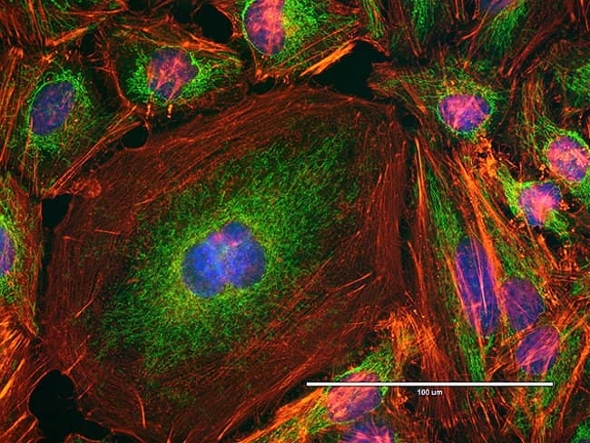 Cytoskeleton and mitochondria in HeLa cells imaged on EVOS® FL Auto imaging system
