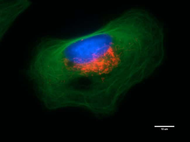 HeLa cells were co-transduced with CellLight® Tubulin-GFP (cytoskeleton, green) (C10613) and CellLight® Mitochondria-RFP (red) (C10601) and were left in the incubator over night. Nuclei were c