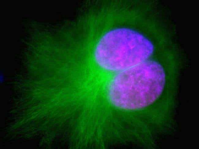 A549 cells were seeded in Nunc™ 12 mm glass-base dishes and co-transduced with CellLight® H2B-RFP and CellLight® Tubulin-GFP reagents. After incubation overnight, cell nuclei were counter-stained with