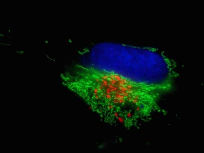 A549 cells were seeded in Nunc™ 27 mm glass-base dishes and co-transduced with CellLight® Mitochondria-GFP and CellLight® Golgi-RFP reagents. After incubation overnight, cell nuclei were counter-stain