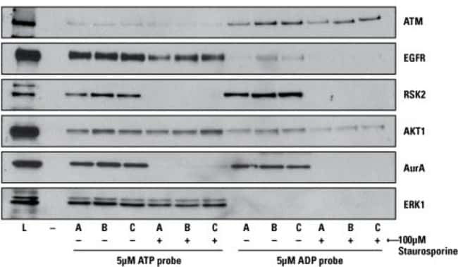 Comparison of desthiobiotin ATP and ADP probe labeling of kinases using the Western blot workflow