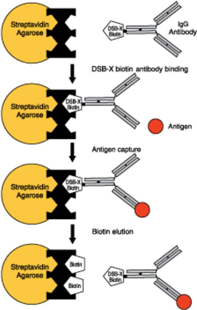 Diagram illustrating the use of streptavidin agarose and a DSB-X™ biotin bioconjugate in affinity chroma¬tography.