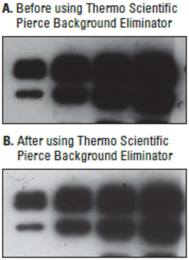 Recombinant human wild-type p53 baculovirus lysate was separated on a 12% SDS-polyacrylamide gel. The proteins were transferred to a nitrocellulose membrane and blocked with SuperBlock Blocking Buffer