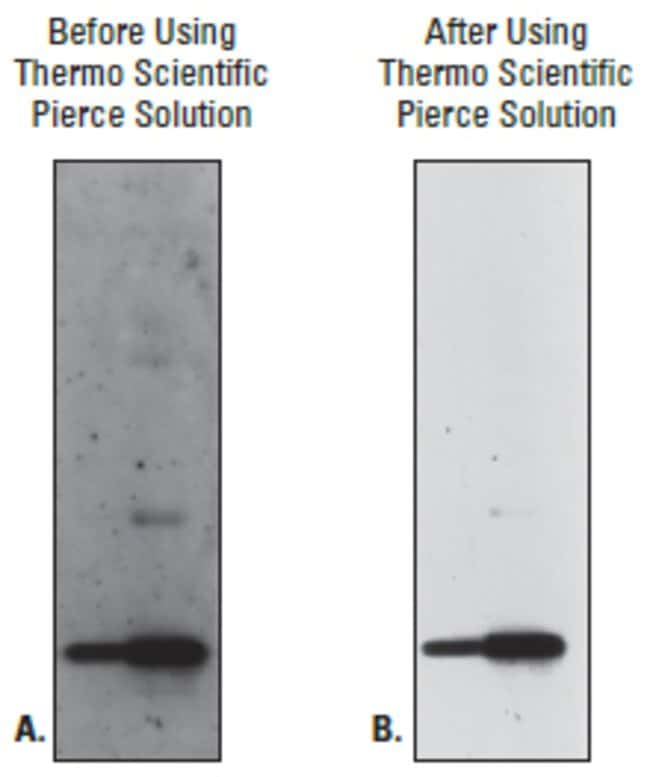 Recombinant Human TNFα was electrophoresed on a 4-20% SDS-polyacrylamide gel and transferred to a nitrocellulose membrane. The membrane was blocked and detected with Mouse anti-Human TNFα
