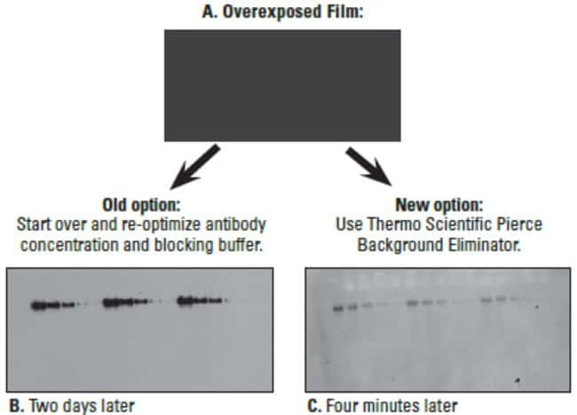 A431 cell lysate was electrophoresed on a 4-12% Tris-glycine gel and transferred overnight to nitrocellulose. The membrane was blocked with Thermo Scientific SuperBlock Blocking Buffer in PBS (Part No