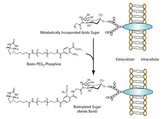 Example strategy for <em>in vivo</em> metabolic labeling with biotin using Phosphine-PEG3-Biotin
