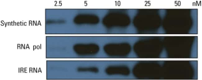 Two RNA probes end-labeled with the Pierce 3' End Biotinylation Kit (RNA pol and IRE RNA) and a synthetic biotinylated RNA probe (Synthetic RNA) were electrophoresed on a 10% acrylamide/8M urea gel, t