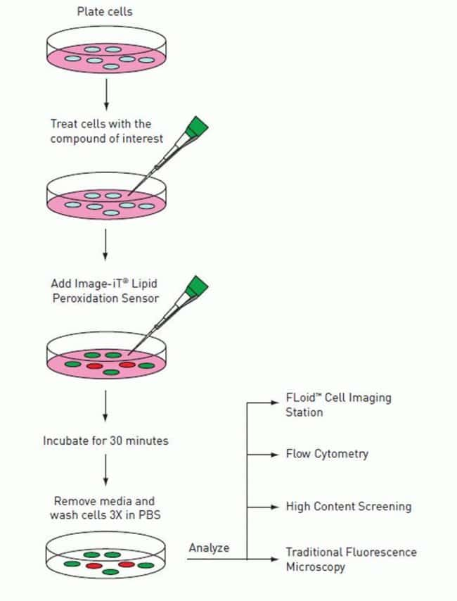 Workflow of Image-iT® Lipid Peroxidation Kit