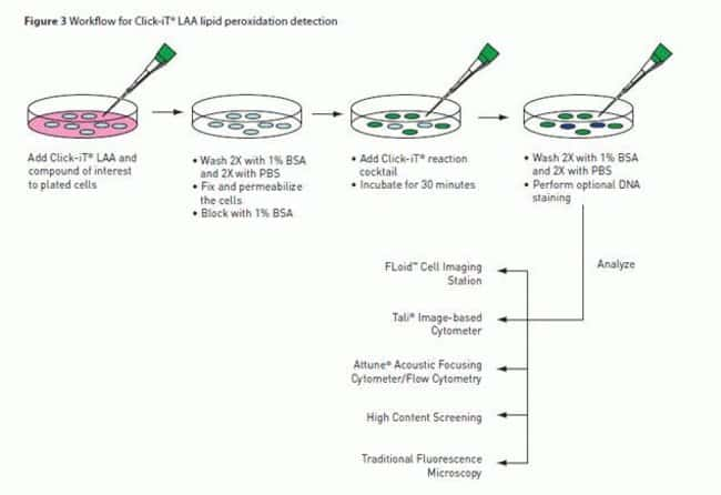Workflow of Click-iT® LAA Lipid Peroxidation Detection