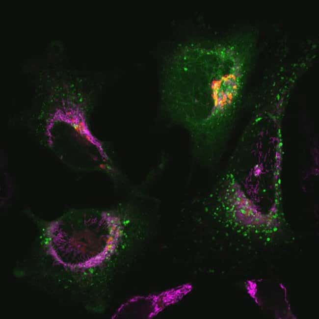 A549 cells were co-transduced with CellLight® Late Endosomes-GFP CellLight® Golgi-RFP and incubated overnight.  Following staining with MitoTracker® Deep Red, cells  were imaged on a Zeiss LSM confocal microscope.