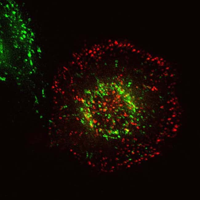 HeLa cells were co-transduced with CellLight® Early Endosmes-GFP and CellLight® Late Endosmes-RFP and  and incubated overnight. Following staining with MitoTracker® Deep Red, cells were imaged on a Zeiss 710 confocal microscope.
