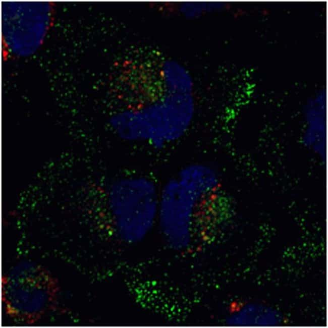 HeLa cells were co-transduced with CellLight® Late Endosmes-RFP and CellLight® Early Endosmes-GFP and incubated overnight. Following nuclear counterstaining with NucBlue™ Live Cell stain, cells were imaged on a Zeiss 710 confocal microscope.