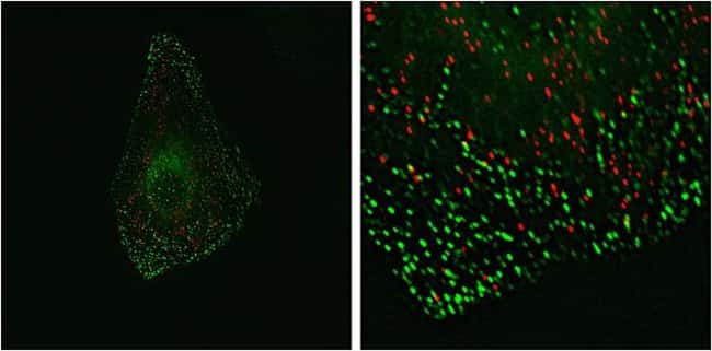 HeLa cells were co-transduced with CellLight® Peroxisomes-RFP and CellLight® Early Endosmes-GFP and incubated overnight. Live cell imaging was done on a Delta Vision Core microscope.