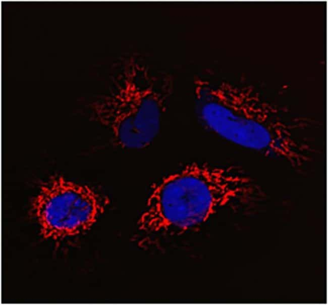 HeLa cells were co-transduced with CellLight® Nucleus-CFP and incubated overnight. Following staining with MitoTracker® Deep Red, cells were imaged on a Zeiss 710 confocal microscope.