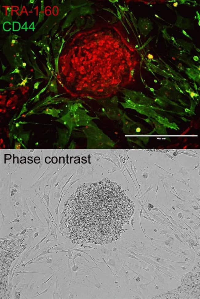 Gibco® iPSCs (Cat. No. A18945) were cultured on a mouse embryonic feeder layer and stained using AlexaFluor®-conjugated antibodies for fibroblast marker CD44 and PSC marker TRA-1-60 (Cat. No. A24882).