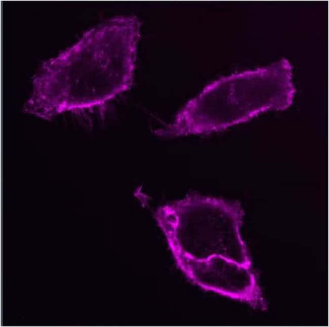 HeLa cell plasma membrane staining using CellMask™ Deep Red Plasma Membrane Stain
