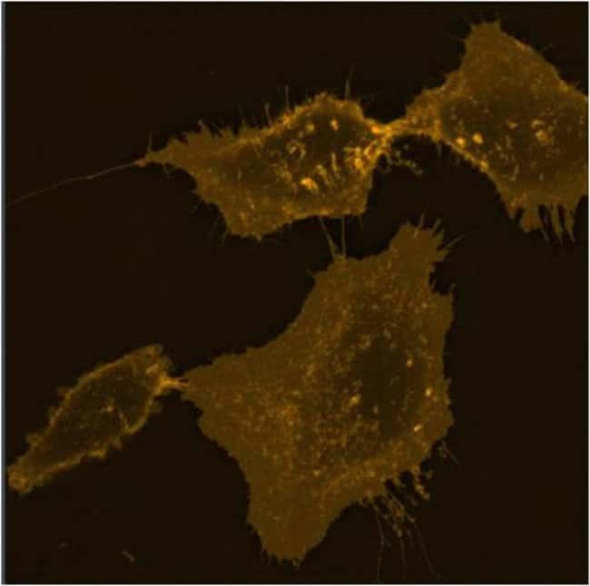HeLa cell plasma membrane staining using CellMask™ Orange Plasma Membrane Stain