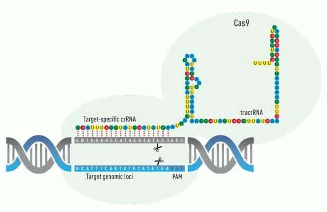 A CRISPR/Cas9 targeted double-strand break